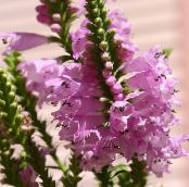 Obedient plant, False Dragonhead pink