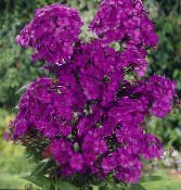 Garden Phlox purple