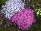 Долгоцветущие многолетние садовые цветы фото и названия