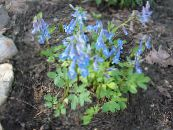 Corydalis light blue