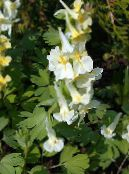Corydalis yellow