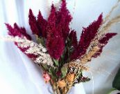 Cockscomb, Plume Plant, Feathered Amaranth burgundy