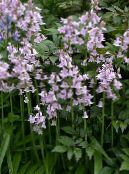 Spanish Bluebell, Wood Hyacinth lilac