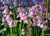 Spanish Bluebell, Wood Hyacinth pink