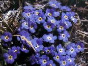 Arktinen Forget-Me-Not, Alpine Forget-Me-Not sininen
