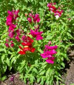 Snapdragon, Weasel's Snout red