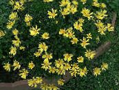Bush Daisy, Green Euryops yellow