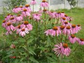 Coneflower, Eastern Coneflower pink