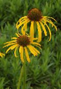 Coneflower, Eastern Coneflower yellow