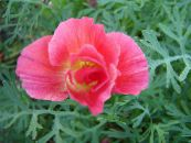California Poppy pink