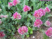 Kidney Vetch, Lady's Fingers pink