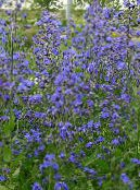 Garden Flowers Italian Bugloss, Italian Alkanet, Summer Forget-Me-Not, Anchusa photo blue