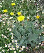 Yellow hawkweed, Fox and Cubs, Orange Hawkweed, Devil's Paintbrush, Grim-the-Collier, Red Daisy yellow