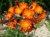 Yellow hawkweed, Fox and Cubs, Orange Hawkweed, Devil's Paintbrush, Grim-the-Collier, Red Daisy orange