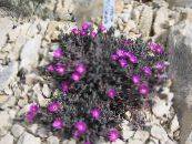 Hardy Ice Plant purple