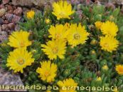 Hardy Ice Plant yellow