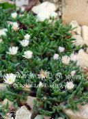 Hardy Ice Plant white