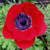 Kroon Windfower, Grecian Windflower, Papaver Anemoon rood