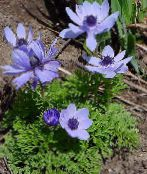 Crown Windfower, Grecian Windflower, Poppy Anemone light blue