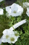 Crown Windfower, Grecian Windflower, Poppy Anemone white