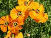 Wind Poppy orange