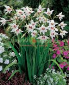 Abyssinian Gladiolus, Peacock Orchid, Fragrant Gladiolus, Sword Lily white