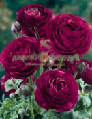Ranunculus, Persian Buttercup, Turban Buttercup, Persian Crowfoot burgundy
