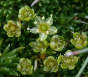 Sandwort green