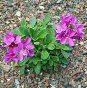 Garden Flowers Rock cress, Arabis photo pink