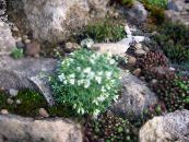Garden Flowers Rock cress, Arabis photo white