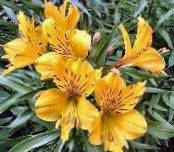 Alstroemeria, Peruvian Lily, Lily of the Incas yellow