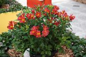 Alstroemeria, Peruvian Lily, Lily of the Incas red