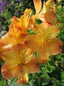 Alstroemeria, Peruvian Lily, Lily of the Incas orange