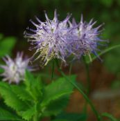 Garden Flowers Horned Rampion, Phyteuma photo lilac