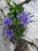 Horned Rampion light blue