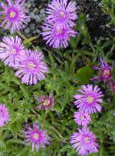 Ice Plant lilac