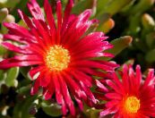 Ice Plant red
