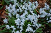 Striped Squill, Snowdrift, Early Stardrift light blue