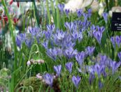 Triteleia, Grass Nut, Ithuriel's Spear, Wally Basket light blue