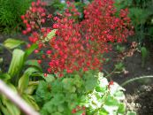 Coral Bells, Alumroot, Coralbells, Alum Root red