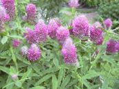 Garden Flowers Red Feathered Clover, Ornamental Clover, Red Trefoil, Trifolium rubens photo lilac