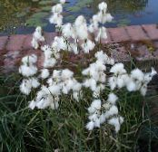 Cotton Grass white