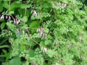 Allegheny Vine, Climbing Fumitory, Mountain Fringe