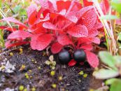 Garden Flowers Arctous photo red