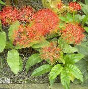 Torch Lily, Blood Lily, Paintbrush Lily, Football Lily, Powderpuff Lily, Fireball Lily red