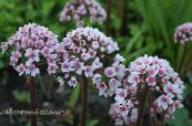 Umbrella Plant, Indian Rhubarb pink