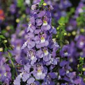 Angelonia Serena, Summer Snapdragon purple