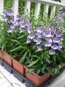 Angelonia Serena, Summer Snapdragon light blue