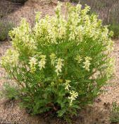 Astragalus yellow