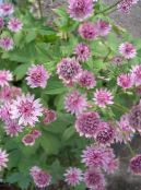 Garden Flowers Masterwort, Astrantia photo pink
